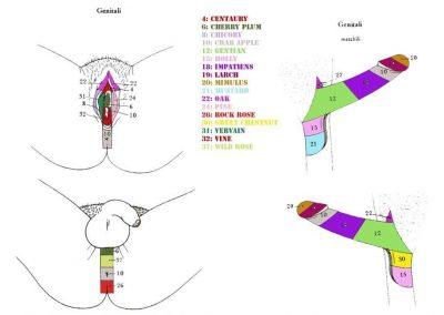 kramer-genitali